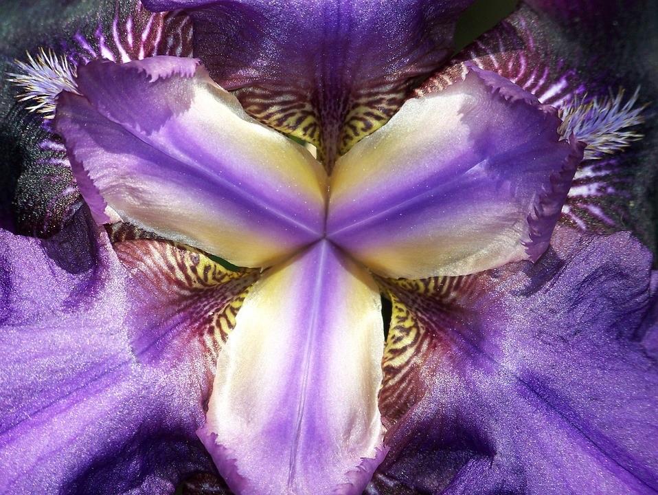 Bruno Šimleša_iris-flower-macro-abstracts-centre