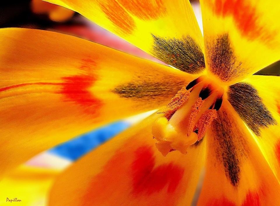 Manca Košir_tulip-tulips-spring-flower-nature