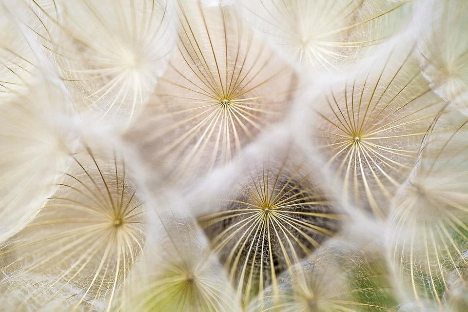 Nastja Mulej_dandelions-flowers-nature-spring