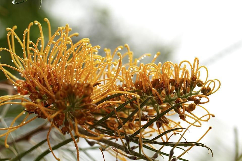 Matej Tušak_grevillea-australia-outdoor-closeup-
